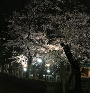 night_cherryblossom